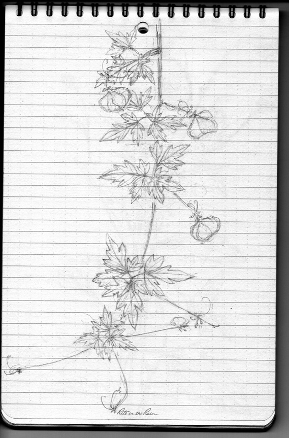 Pencil sketch for Weeds/Rumpai Series II - Peria bulan/Love in a puff (Cardiospermum halicacabum)