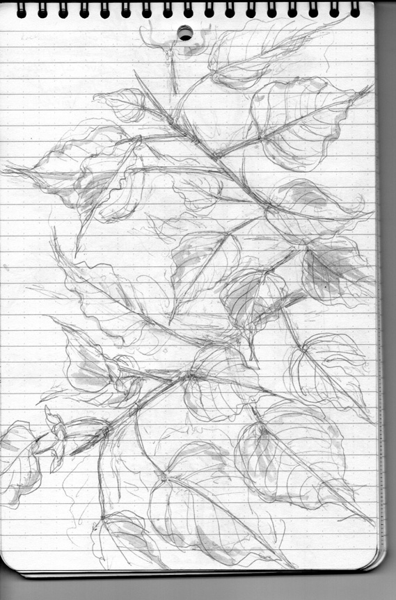 Pencil sketch for Weeds/Rumpai Series II - Bodhi (Ficus religiosa)