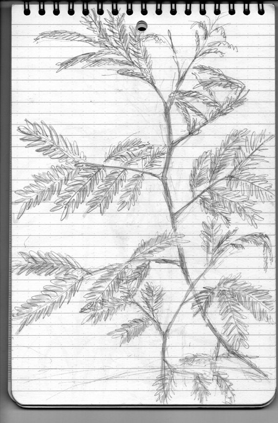 Pencil sketch for Weeds/Rumpai Series II - Petai belalang/Lead tree (Leucaena leucocephala)