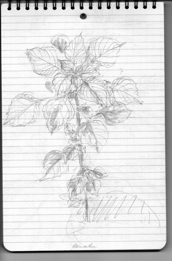 Pencil sketch for Weeds/Rumpai Series II - Unknown