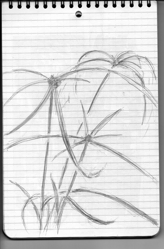 Pencil sketch for Weeds/Rumpai Series II - Rumput butong/White water sedge (Kyllinga nemoralis)