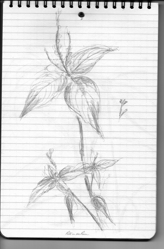 Pencil sketch for Weeds/Rumpai Series II - Wormbush (Spigelia anthelmia)